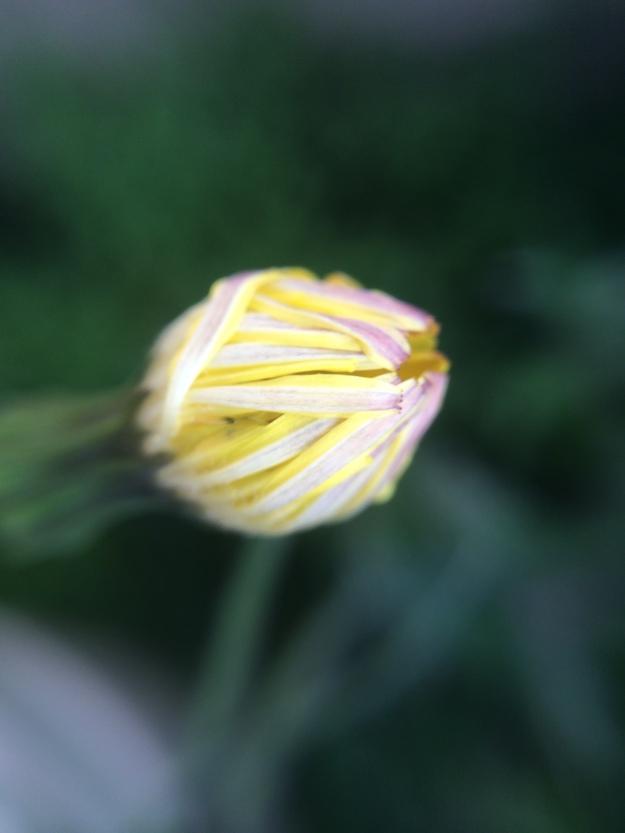 Dandelion bud-macro
