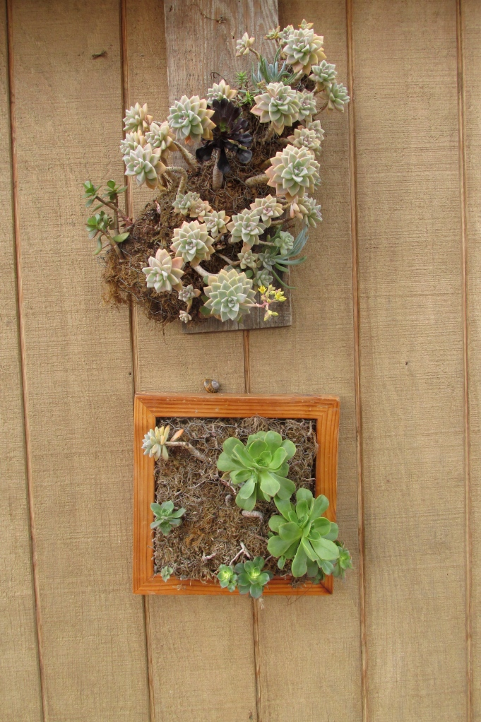 Hanging succulent gardens: volunteer Alissa Aldous helped last year's second graders make these to put on our own shed.