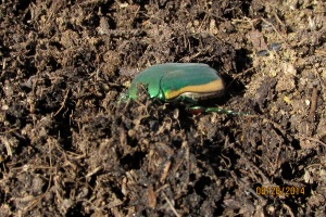 fig beetle 1