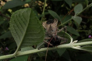 assasin bug 1